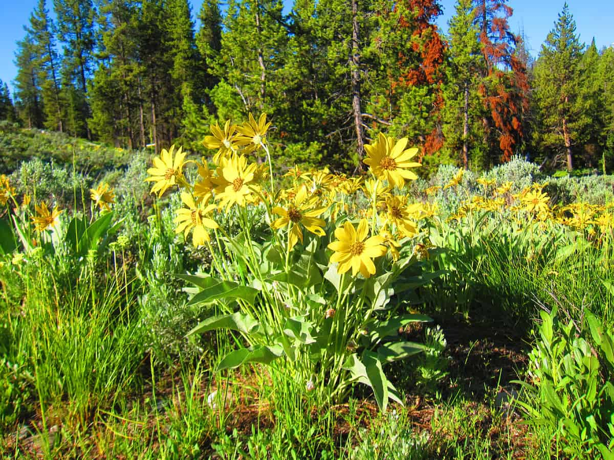 wildflowers at Grand Tetons National Park