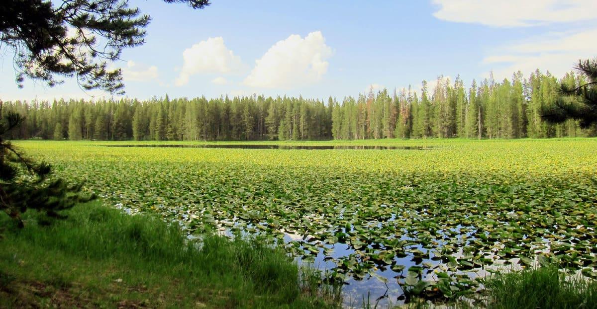 water lilies at Grand Tetons National Park