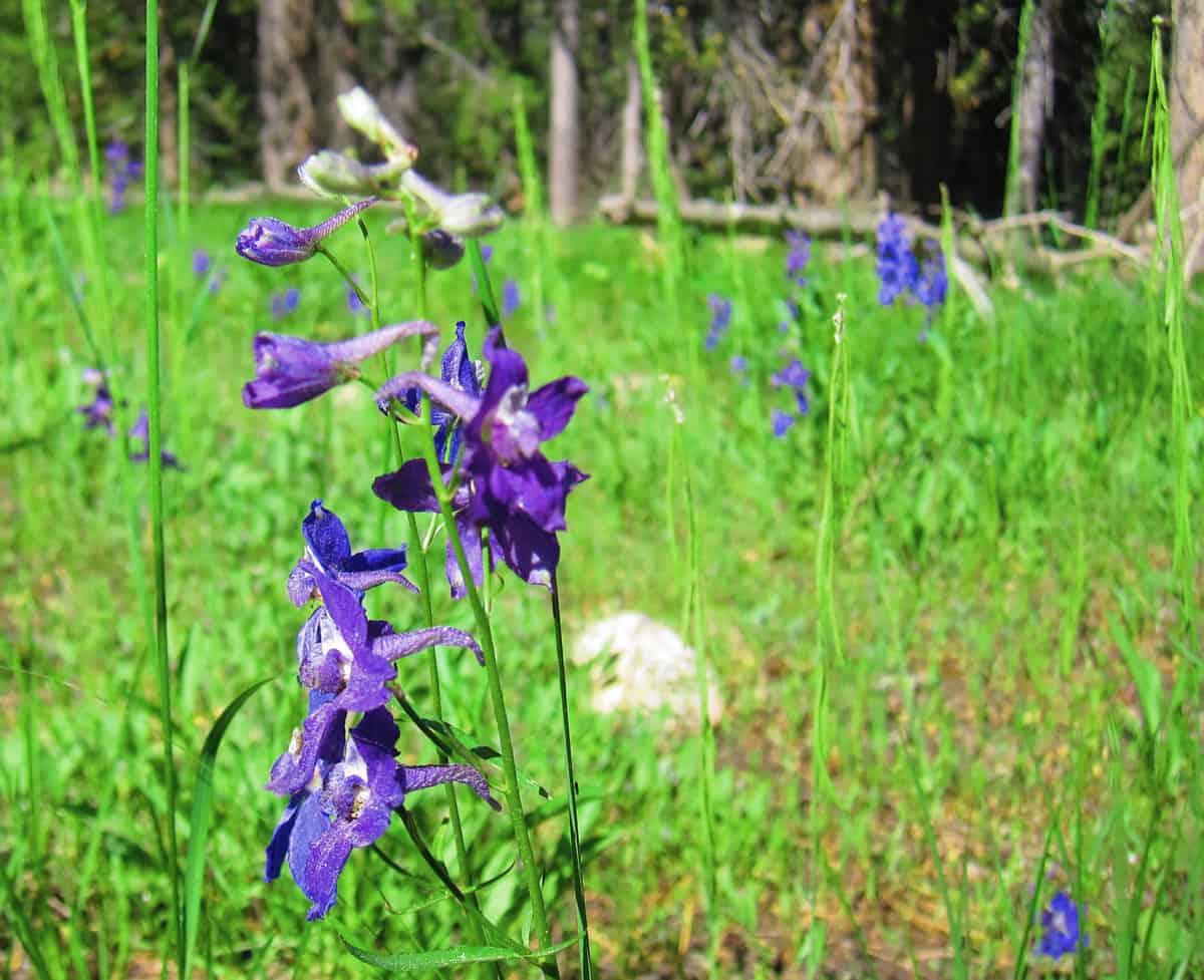Grand Tetons National Park Flowers
