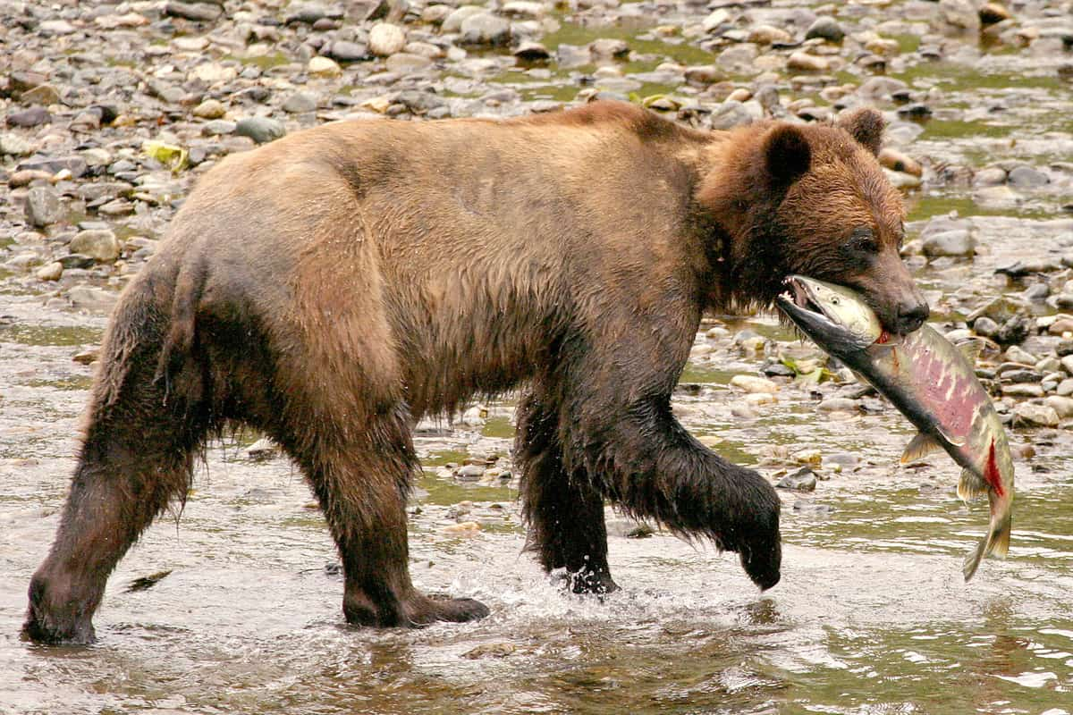 What to see and do along the Stewart-Cassiar route to Alaska: Grizzly at Fish Creek, Hyder, AK