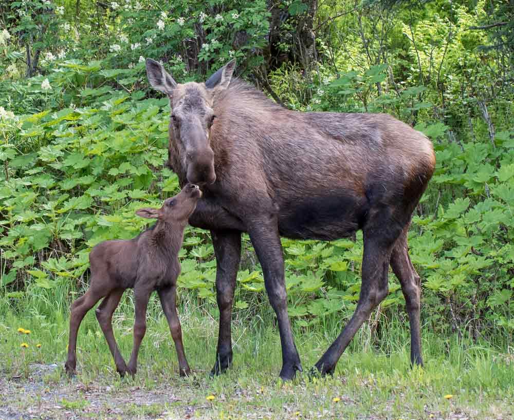Alaska Bucket List: Moose at Kincaid Park