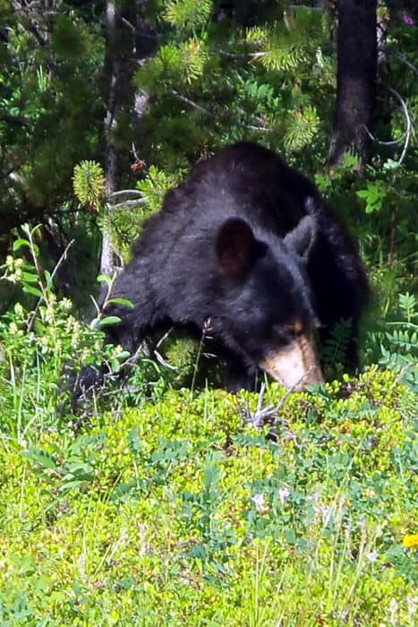 Black bear by Bow Valley Parkway