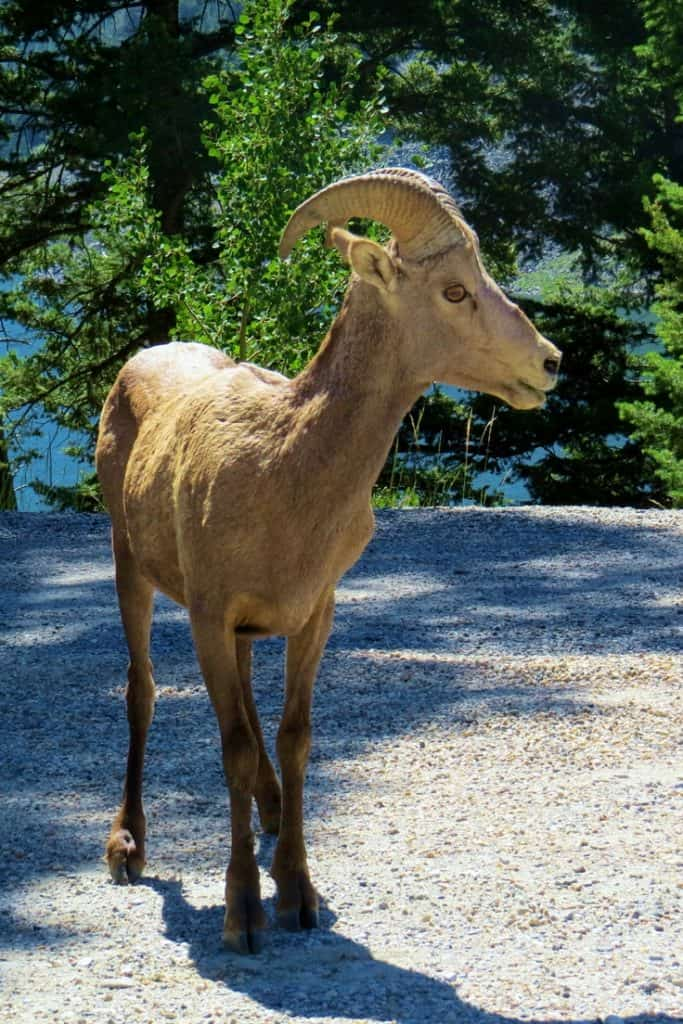 We saw this bighorn sheep near Hiking near Quake Lake, MT.