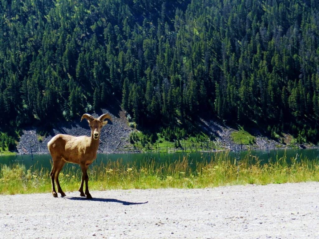 Wildlife around Quake Lake, MT.