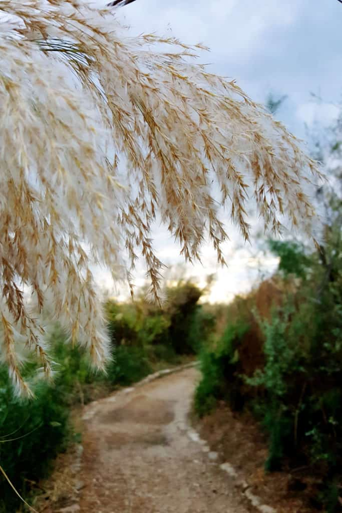 The Nahal Taninim visitors guide: Tamarisk flowers along the trail