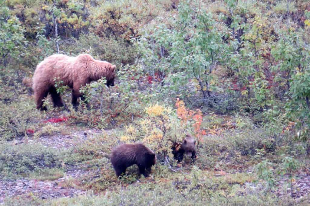 Mama Grizzly and cubs - Denali National Park Trip Report