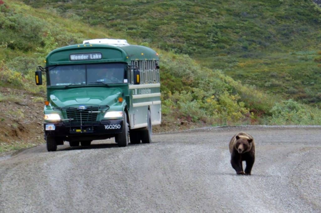 Denali National Park Trip Report: Grizzly bear on the road!