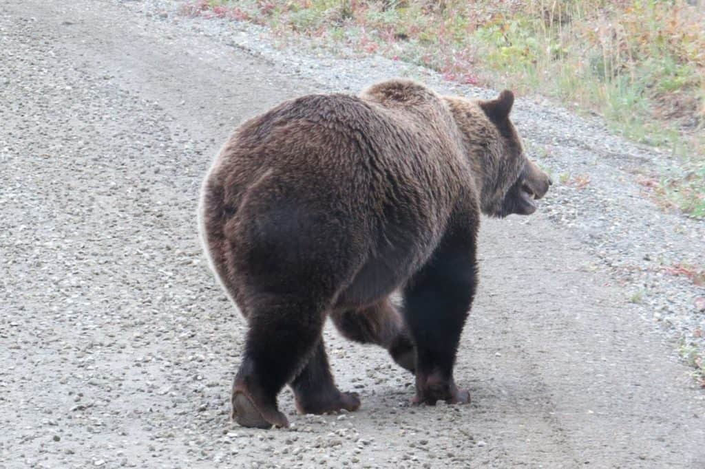 Grizzly bear on the road - Denali National Park Trip Report