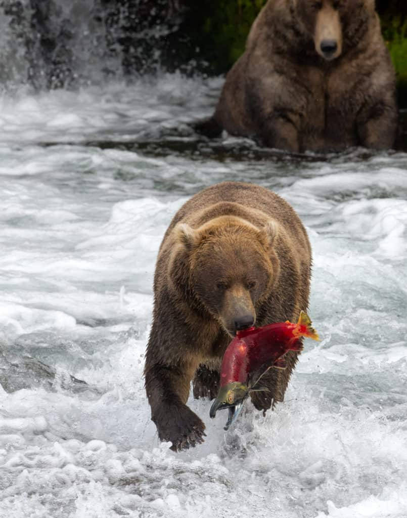 Katmai National Park: Brown Bear with salmon in Brooks Camp