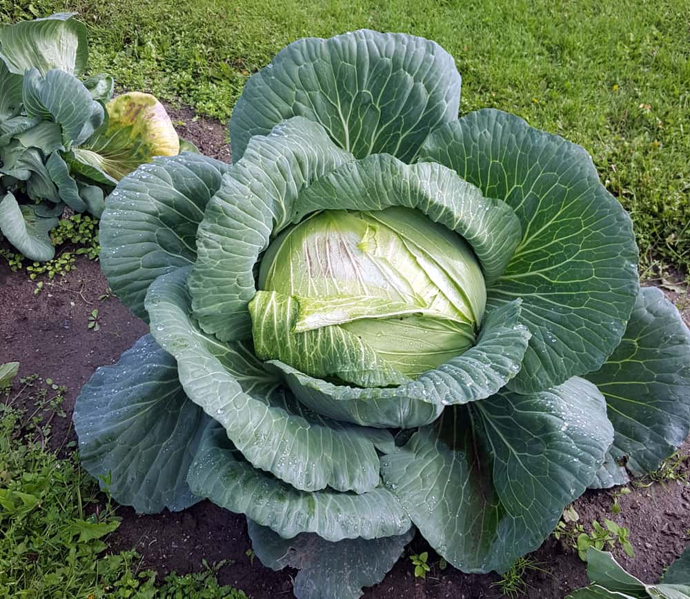 Huge Alaska cabbage seen during our visit