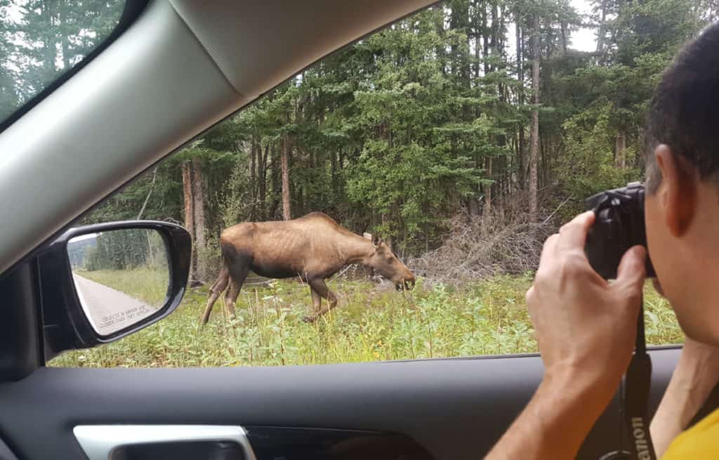 Moose by the side of the road