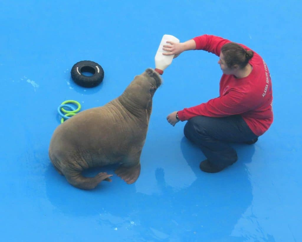 Baby walrus being fed