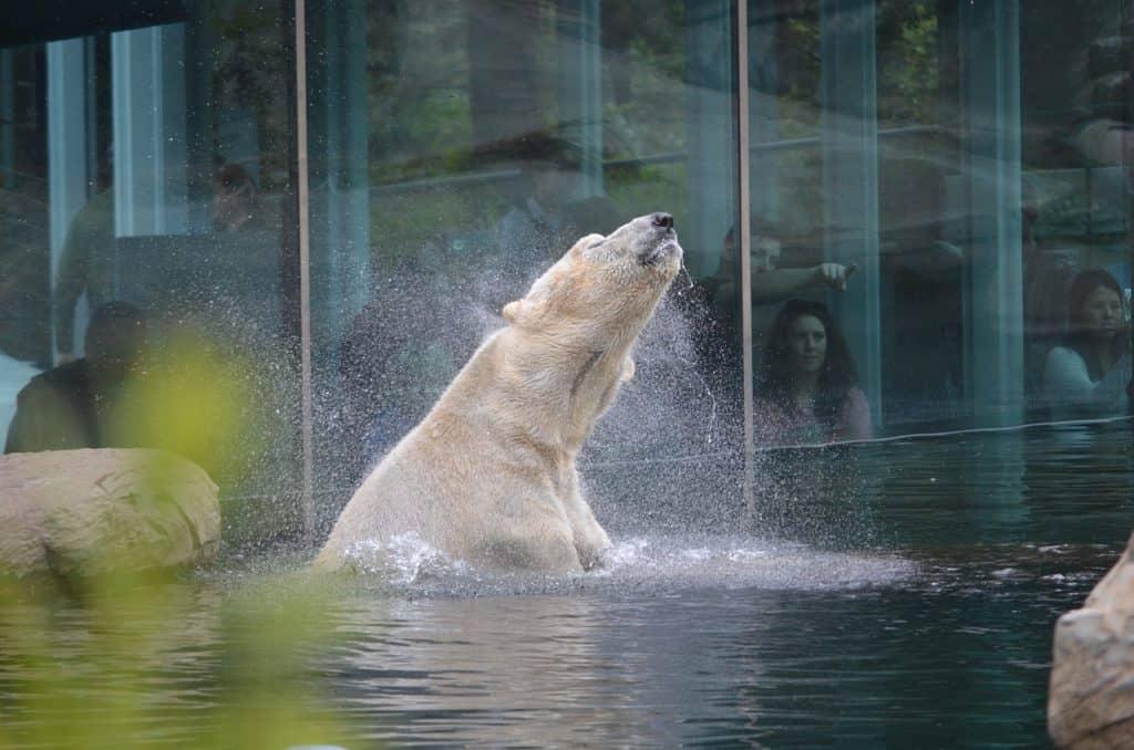 Polar Bear San Diego