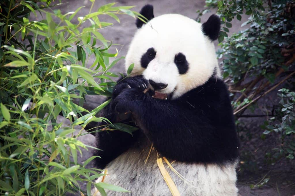 Yun Zi the giant panda (Ailuropoda melanoleuca) snarfs down some yummy bamboo at the San Diego Zoo