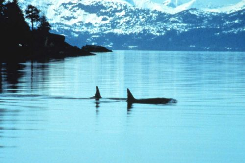 Two killer whales in Prince William Sound