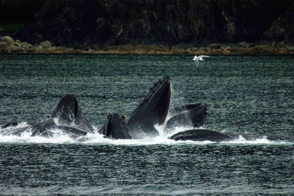 Public Domain Humpback Whales playing in the Waters Around Juneau, Alaska.