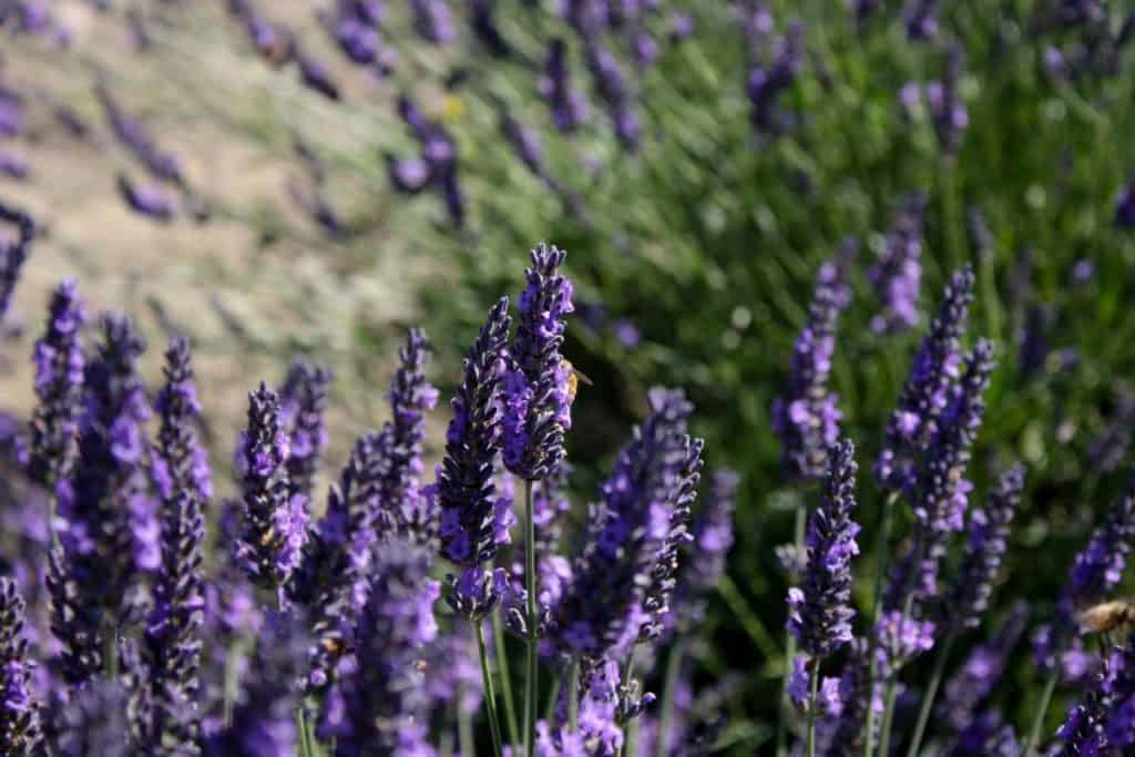 Lavender Picking at Graysmarsh Farms in Sequim, WA