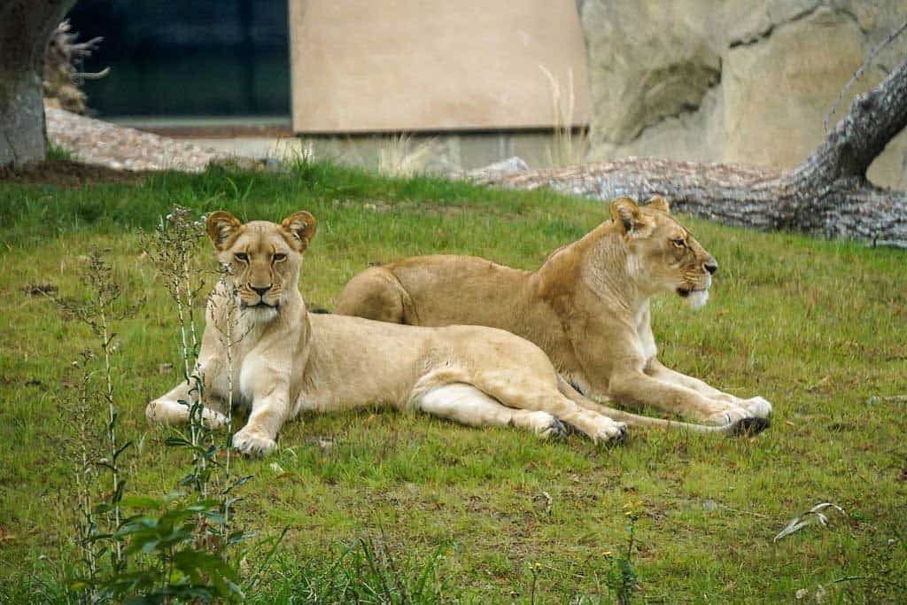 Lions at the Fresno Chaffee Zoo