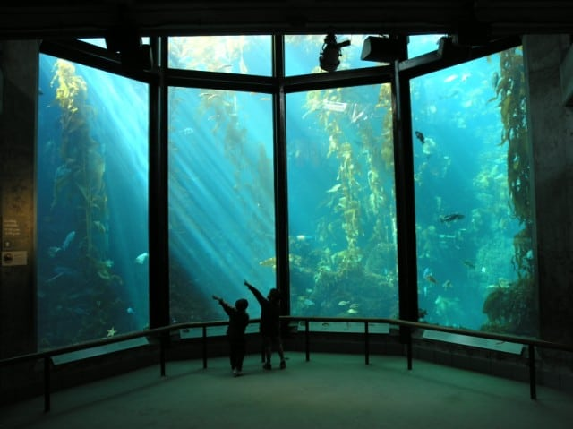 Kelp Forest, Monterey Bay Aquarium, California, USA