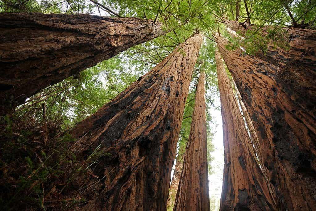 Coast Redwood Sequoia Sempervirens Forest, Capitola, Big Basin 122 Redwoods State Park