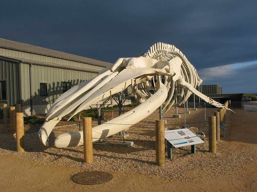 World's largest whale skeleton at the Seymour Center at Long Marine Lab