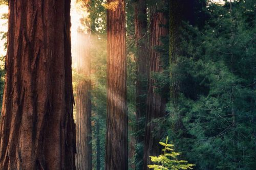 Where to See Redwoods in California [6 Recommendations]
