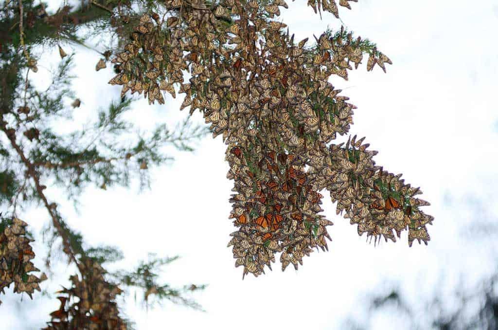 Monarch Butterflies Pacific Grove