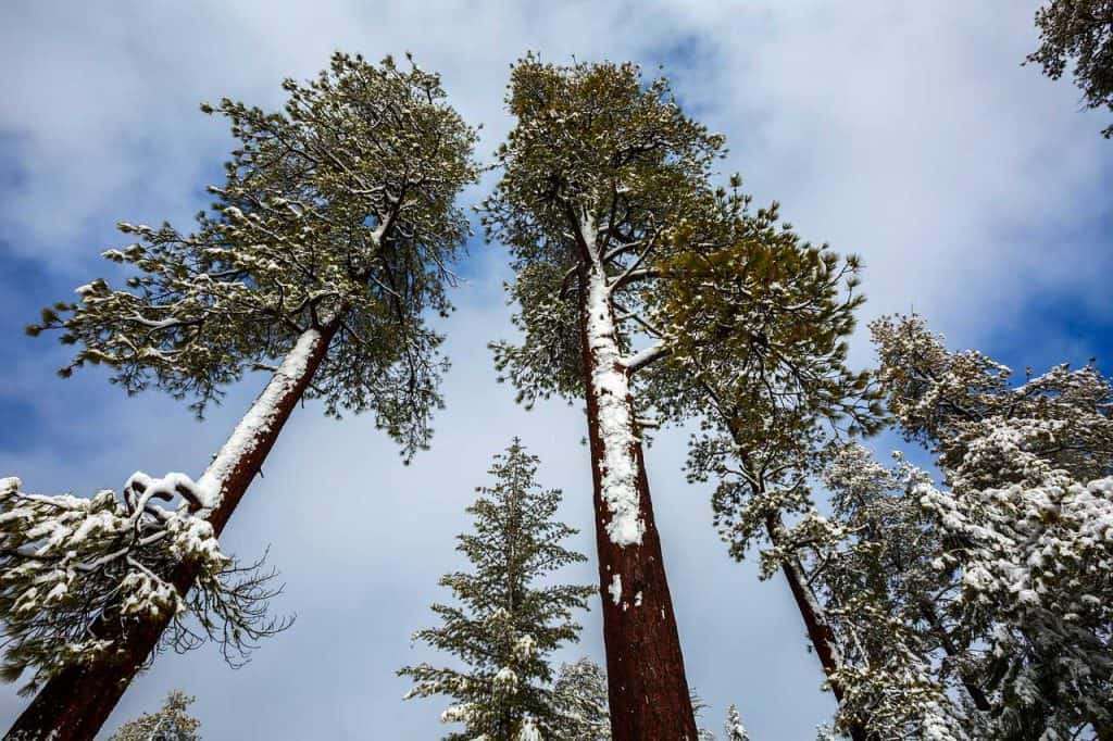 Redwoods During Winter