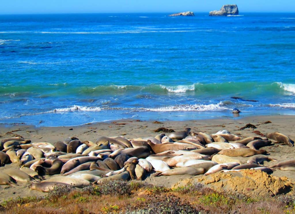 Elephant seals at Piedras Blancas - along Highway 1, CA
