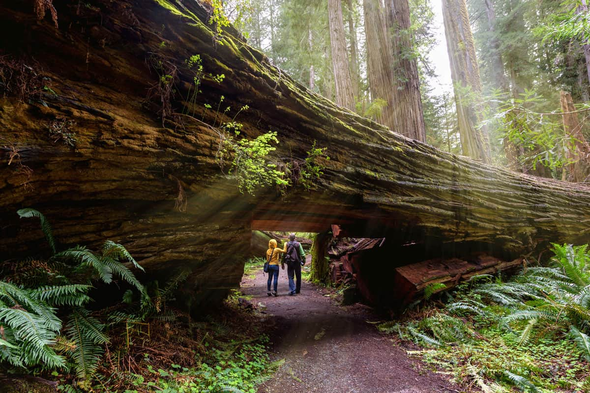 A-couple-tourists-hiking-in-Redwood-National-Park,-California