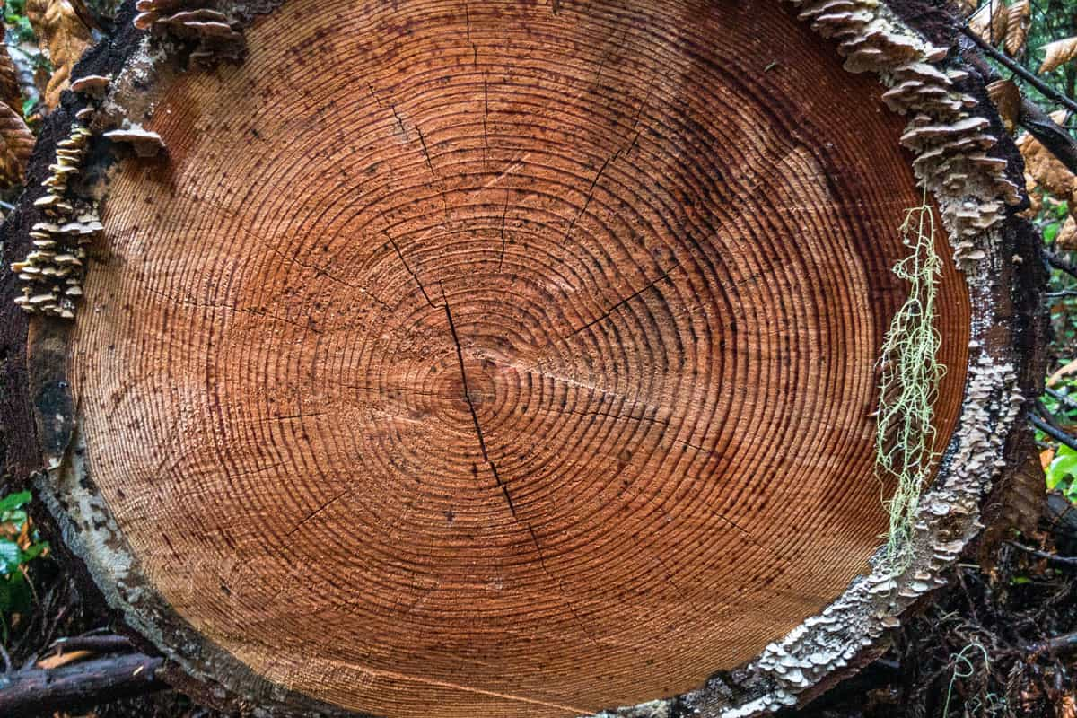 Close-up-of-log-rings-of-tree-cut-in-forest