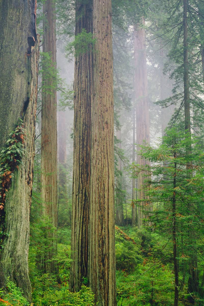 Coast-Redwood-Trees-Tower-Into-The-Fog-AT-Del-Norte-Redwoods-St.-Park-South-Of-Crescent-City,-CA