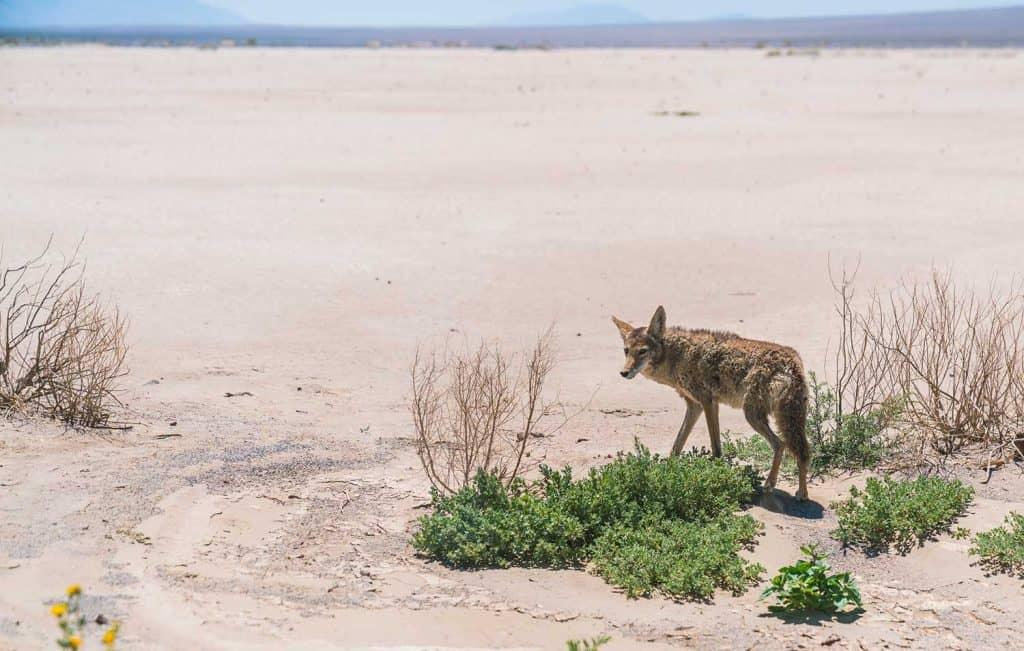 Coyote stalk on roadside in desert area of Death Valley