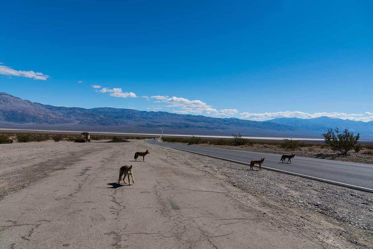 Coyotes on road at Death Valley during daytime