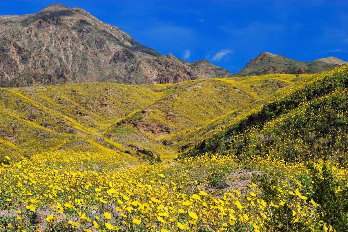 Desert Gold (Gerea canescens) blooming in Death Valley National Park