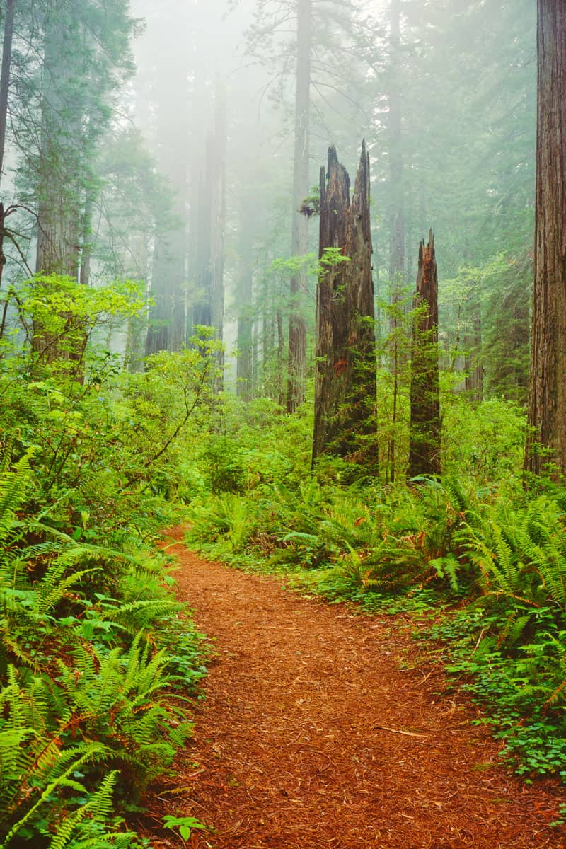 Misty-morning-in-Del-Norte-Coast-Redwoods-St.-Park,-California