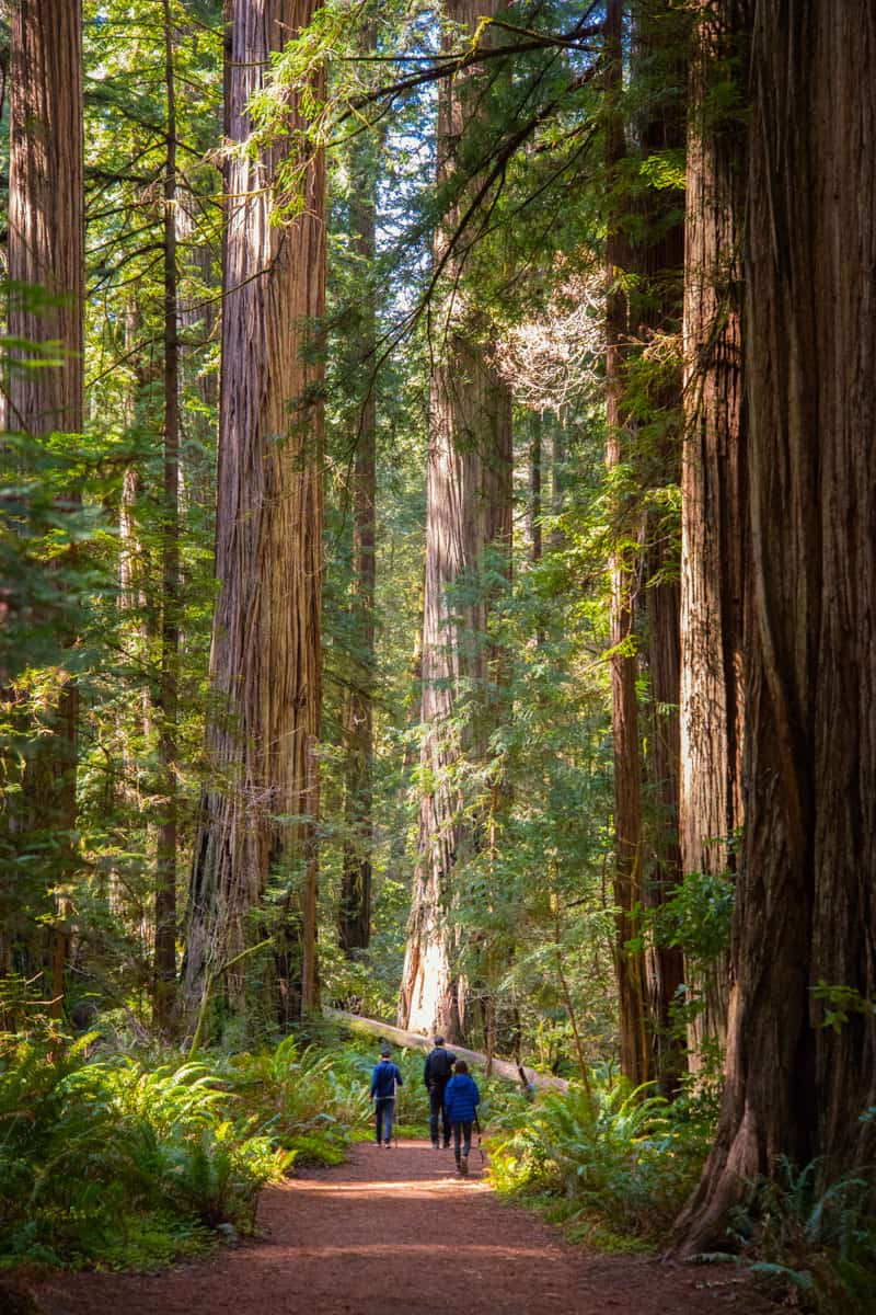 Redwood-Coast---Jedediah-Smith-Redwoods