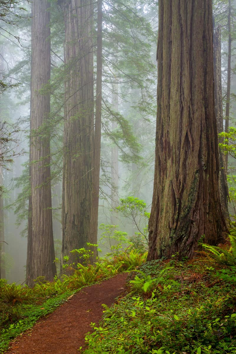 Redwoods-and-rhododendrons-along-the-Damnation-Creek-Trail-in-Del-Norte-Coast-Redwoods-State-Park,-California,-USA