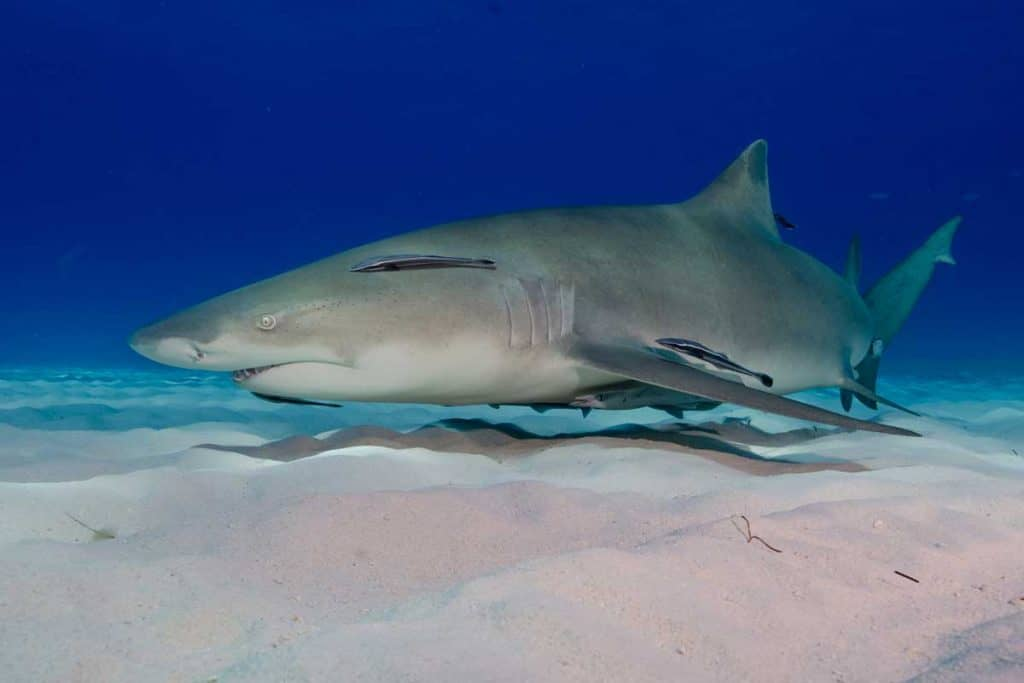 Lemon shark swimming at ocean floor