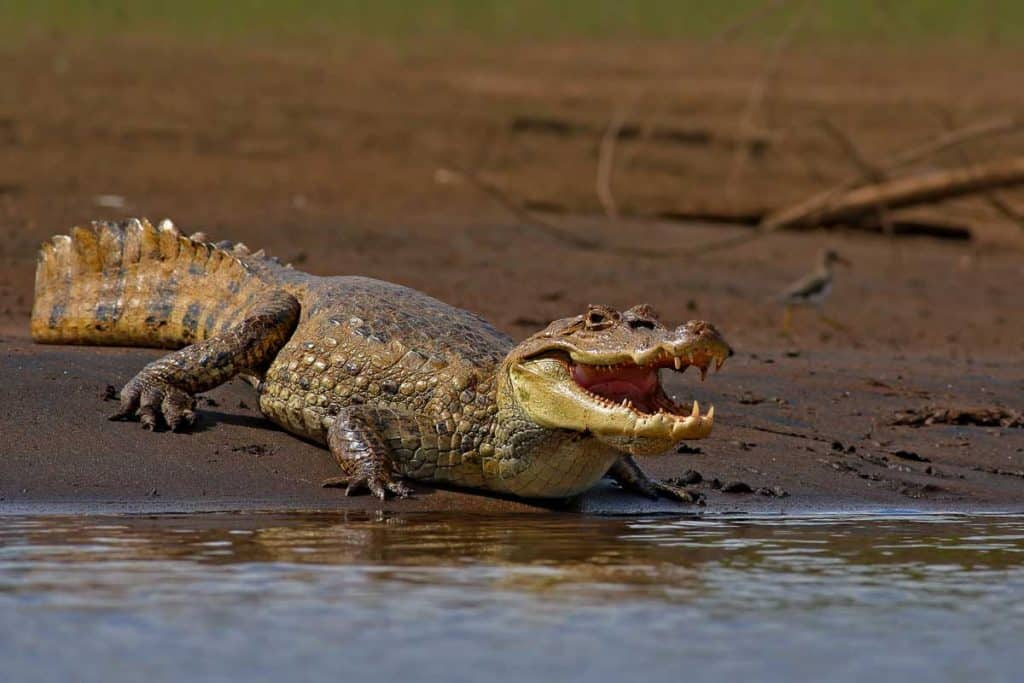 American crocodiles opening mouth