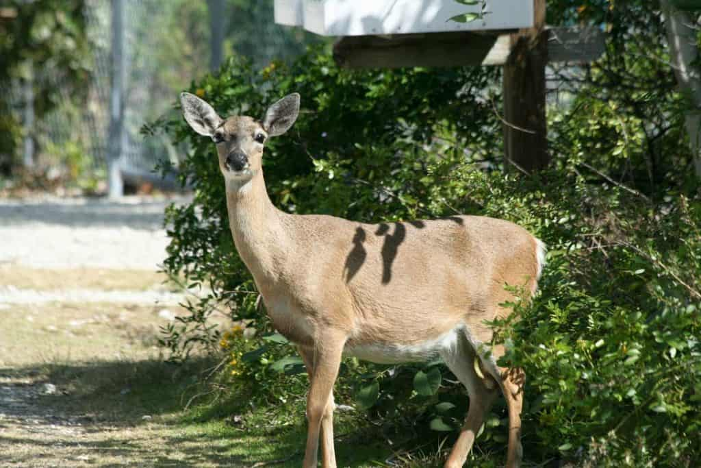 Endangered Florida Key Deer pooping out of bushes