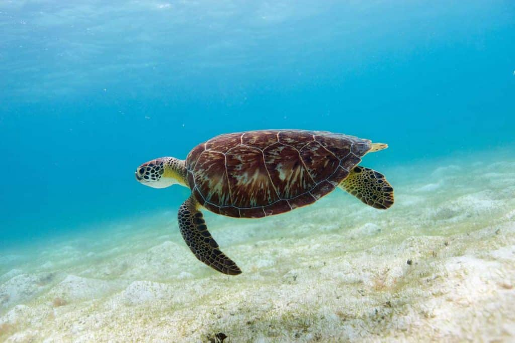hawksbill turtle swimming near ocean floor