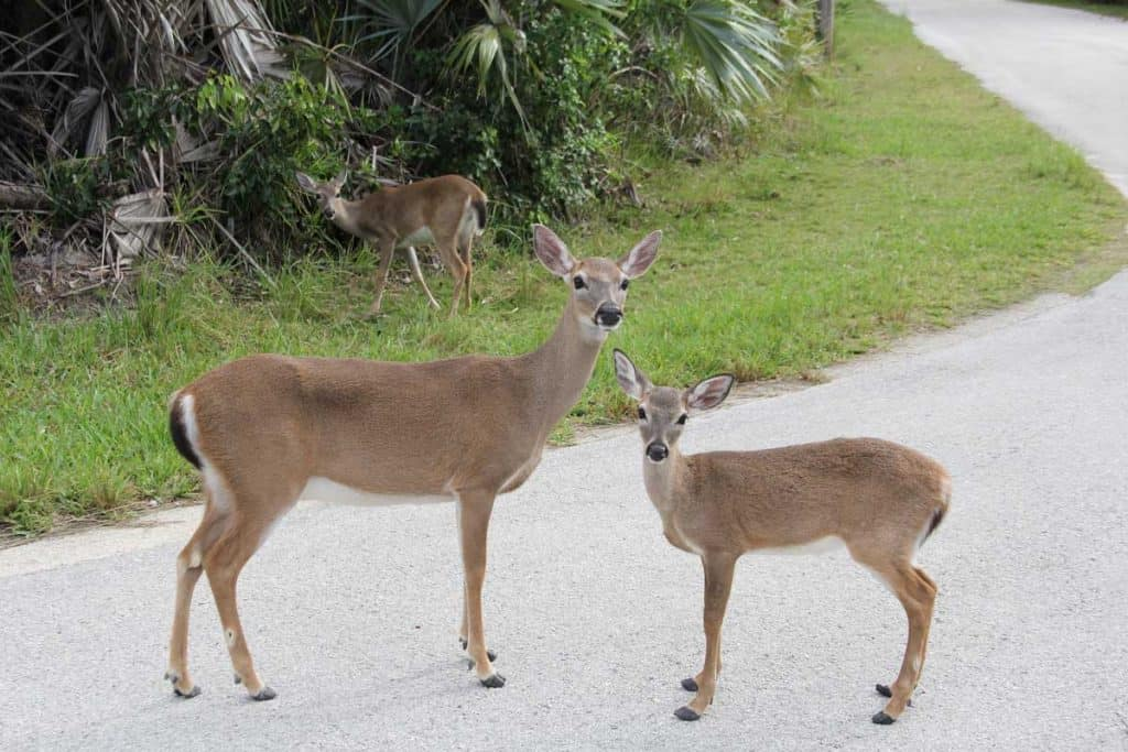 Florida Key Deer on the road with calf
