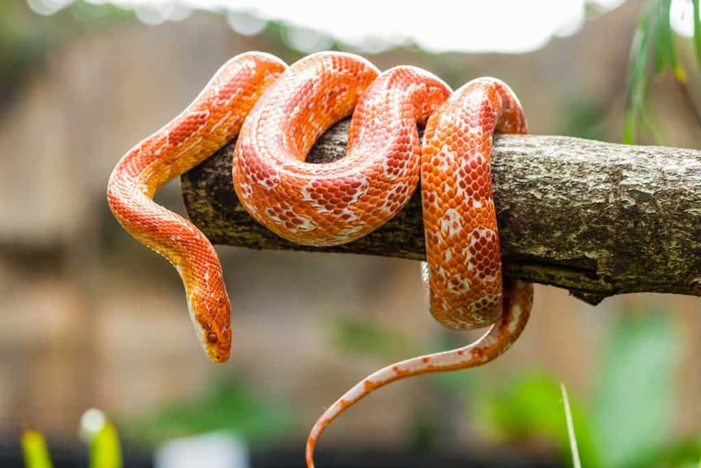 Red Rat Snake hanging at tree