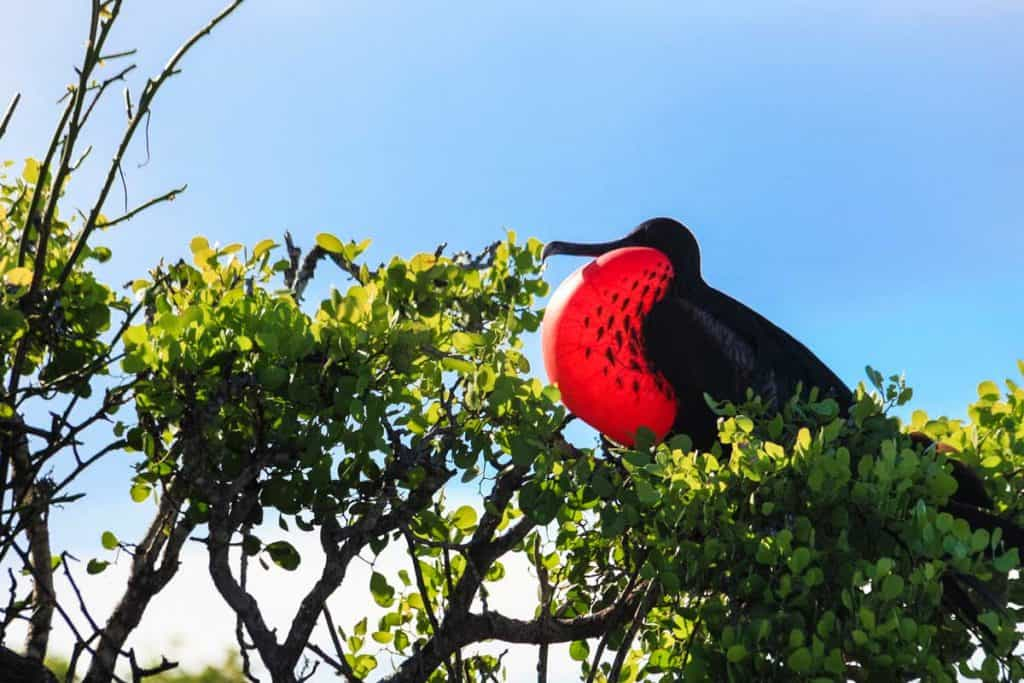 Magnificent Frigatebird stopping by at tree