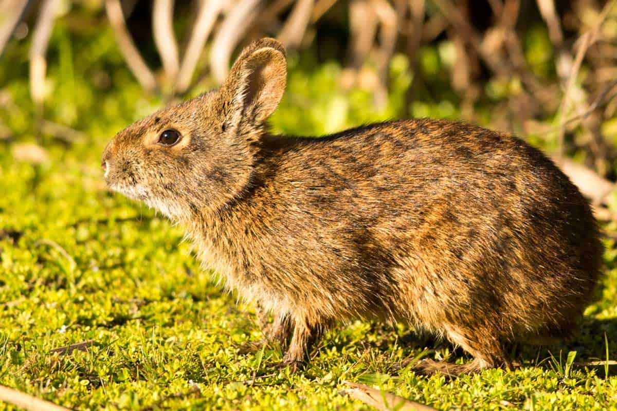 Lower-Keys-Marsh-Rabbit