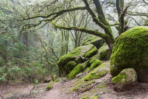 Moss covered trees growing among rock boulders on a foggy day in Castle Rock State Park, California, Castle Rock State Park, CA - A Visitor's Guide