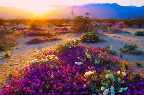 Beautiful spring wildflowers lit by sunset at Anza Borrego, California, Anza-Borrego Desert State Park, CA - A Visitor's Guide