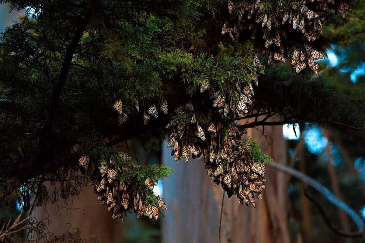 Monarch Butterflies on tree branch in Santa Cruz, California