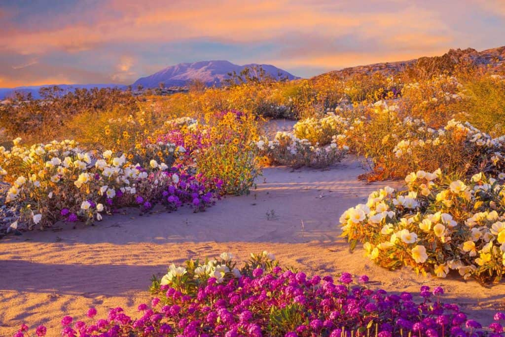 Wildflowers in the landscape at Anza Borrego, California